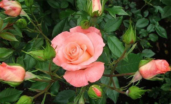 Скачать песню три чайные розы