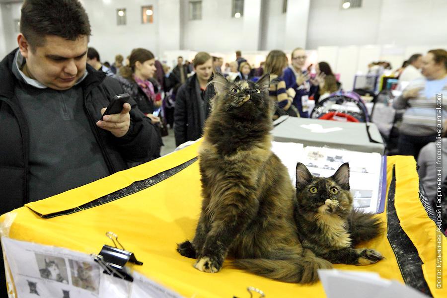 две солидные чепашки Четырехмесячные кунихи Опортун и Медуза фотографии выставка кошек гран при Royal Canin
