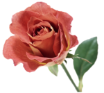 roza2 (60).png