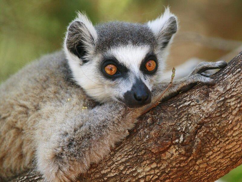 Фото животных фотографии Лемуры животные картинки животный мир.