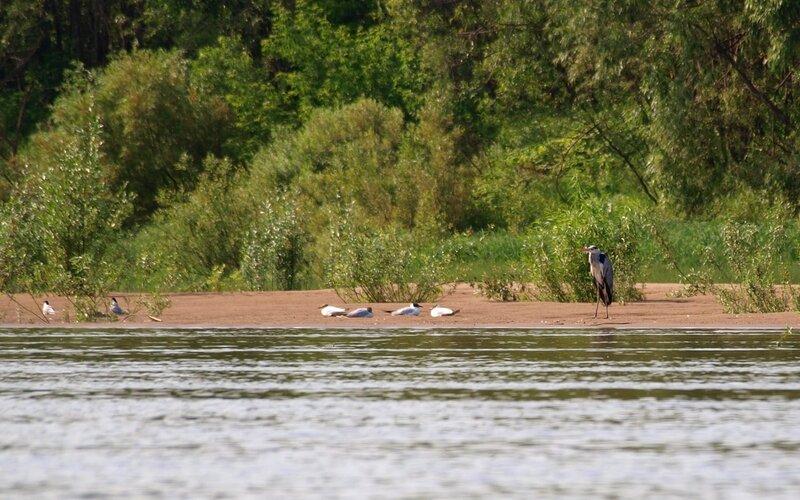 Серая цапля и чайки на берегу Вятки