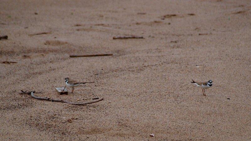Зуек малый (Charadrius dubius) на пляже на реке Вятке (пара)