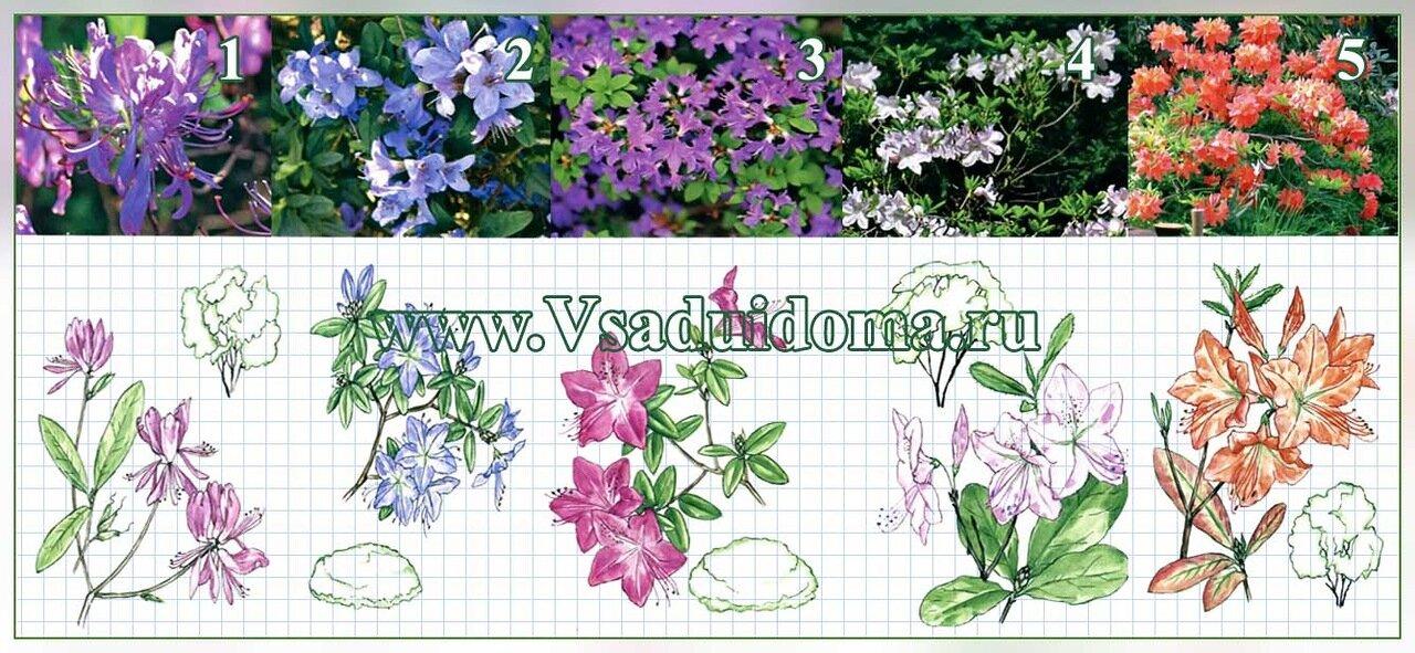 Рододендроны – выращивание и уход, сорта и виды