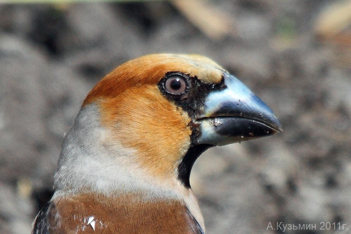 Обыкновенный дубонос (Coccothraustes coccothraustes)