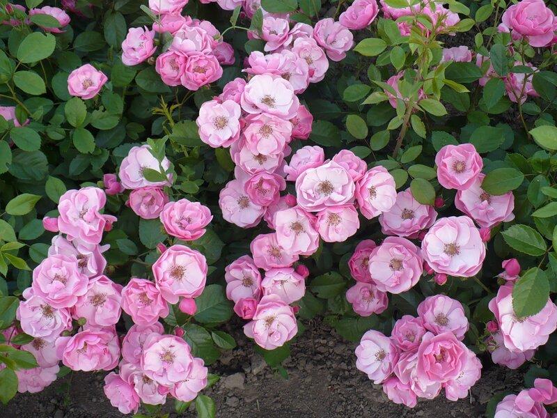 Rosarium uetersen роза плетистая 4