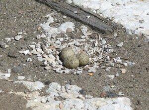 Гнездо зуйков