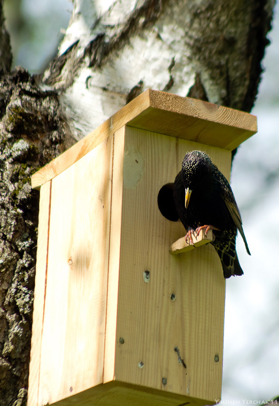 Скворец, Sturnus vulgaris, starling, photo, фото