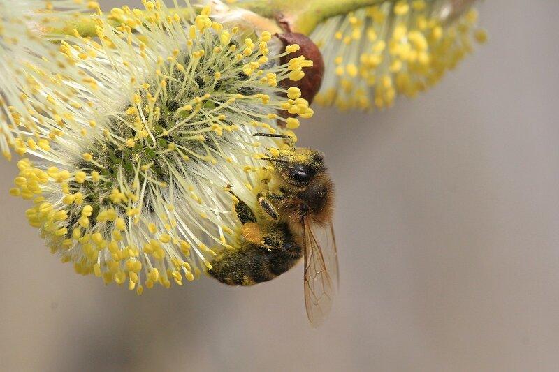 пчела собирает нектар с цветков ивы (вербы), из белых пушистиков проклюнулись жёлтые тычинки с пыльцой