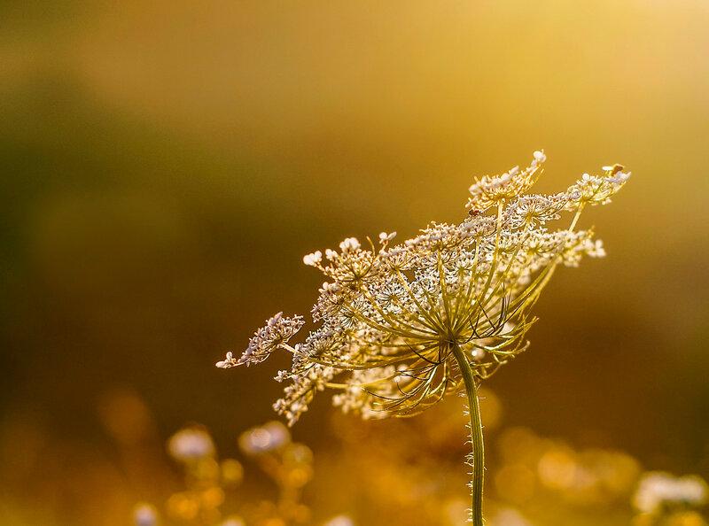 Золото рассвета