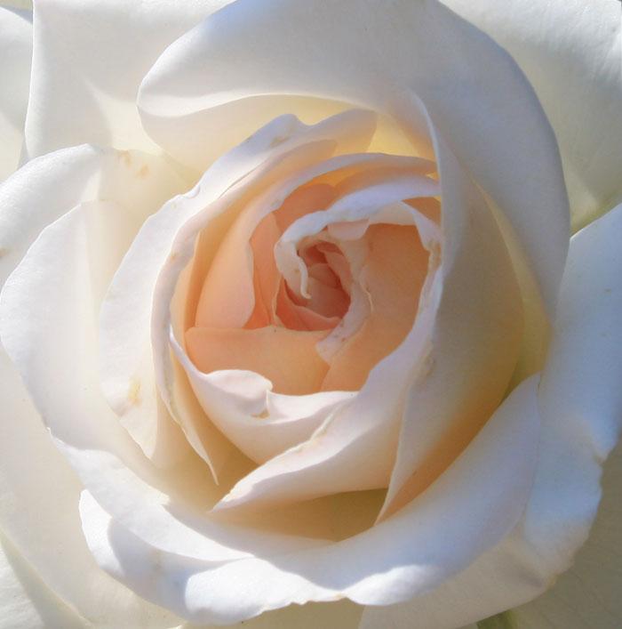 Розы Никитского сада