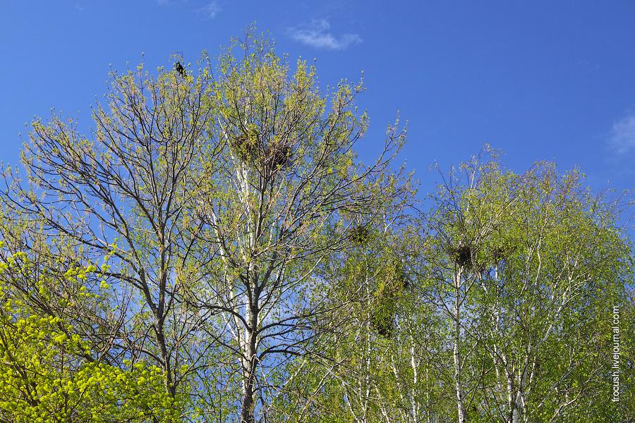 вороньи гнезда в Константиново