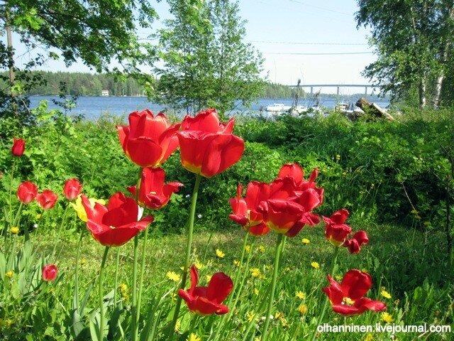 Пока на фоне нашего окрестного летнего озерного богатства из последних сил держатся лепесточки красных тюльпанов