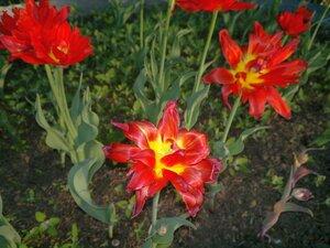 Махровые тюльпаны на площади Республики (Чебоксары)