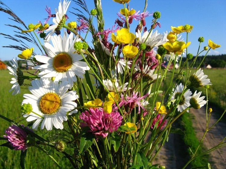 Фото полевые цветы высокого разрешения