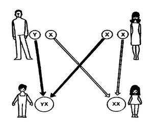 Набор хромосом определяет пол ребёнка