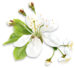White_Spring_Tree_Flower_PNG_Clipart.png