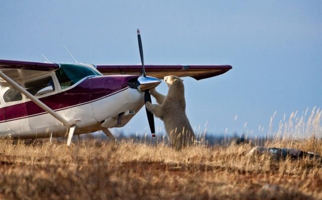 Медведь-летчик. Хорошо, что коровы нелетают...