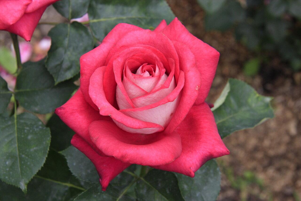 роза моника фото отзывы торта зефира без