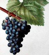 полезен ли виноград_polezen li vinograd