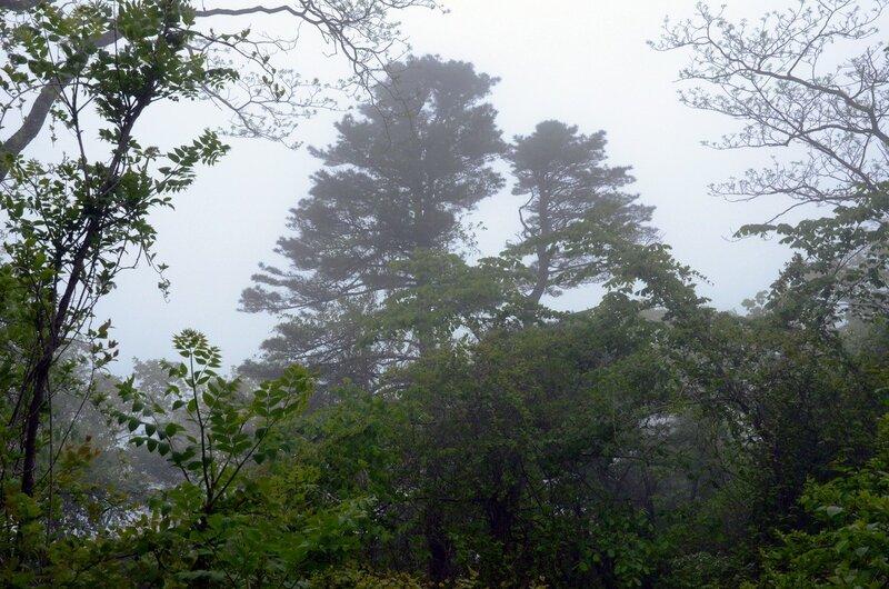 кедры в тумане и лианник.jpg