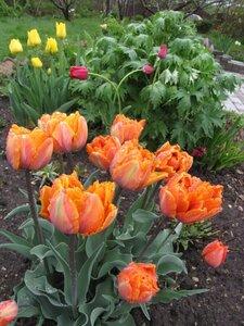 тюльпан оранж принцесс фото