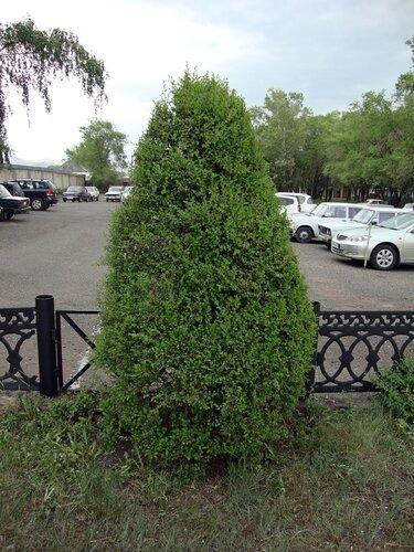 20110606 - Стрижка деревьев07