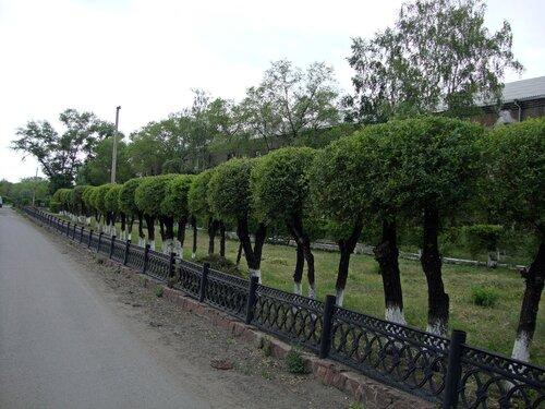 20110606 - Стрижка деревьев08