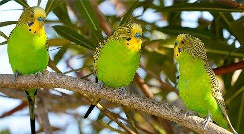 С этой птицей всегда интересно, она может играть...  Клетки для волнистых попугаев.  Выбрать волнистого попугая Вы...