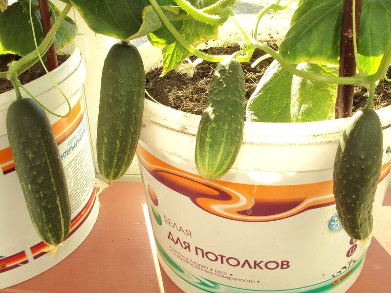 Как вырастить огурцы на балконе: хитрости большого урожая.