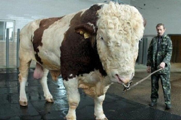 Сами балшой бик