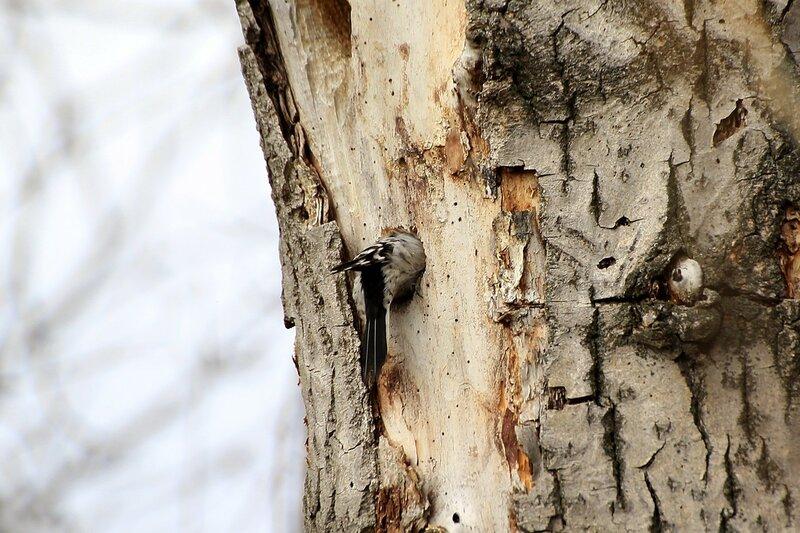 Самец малого пёстрого дятла (Dendrocopos minor) долбит дупло в древесине старого тополя, скрылся внутри дупла