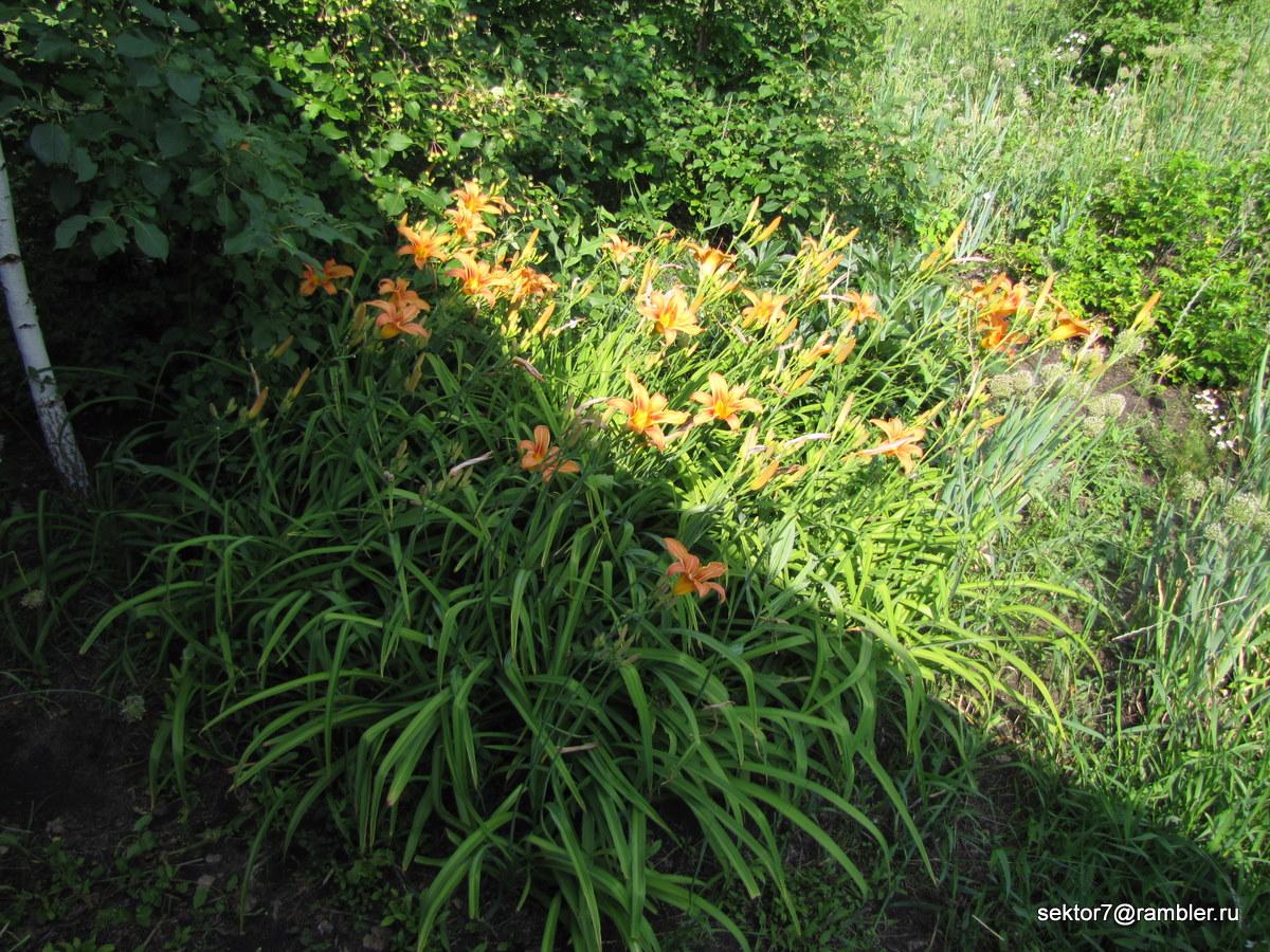 Свежие лилии и вишня