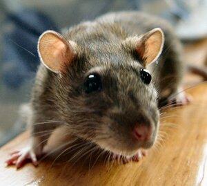 Крысы атакуют столицу Колымы Магадан