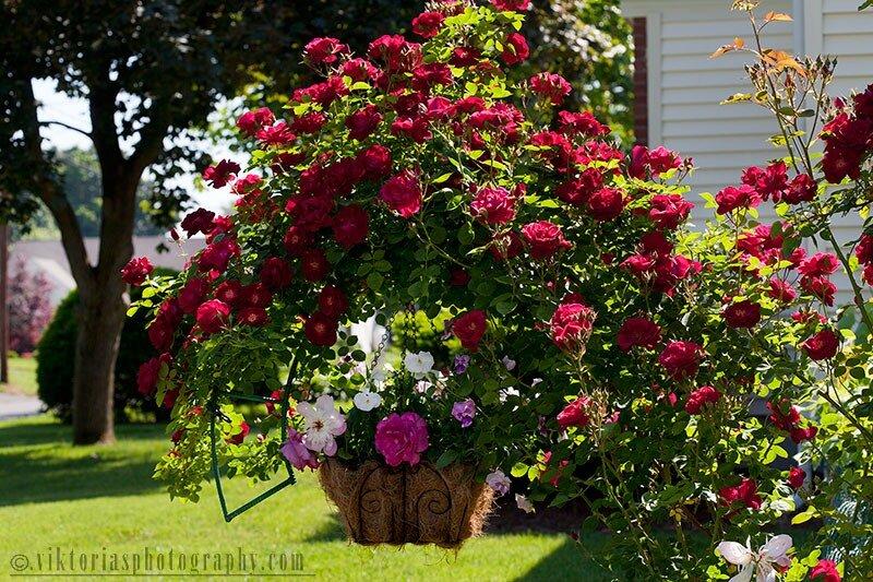 Дизайн вьющейся розы