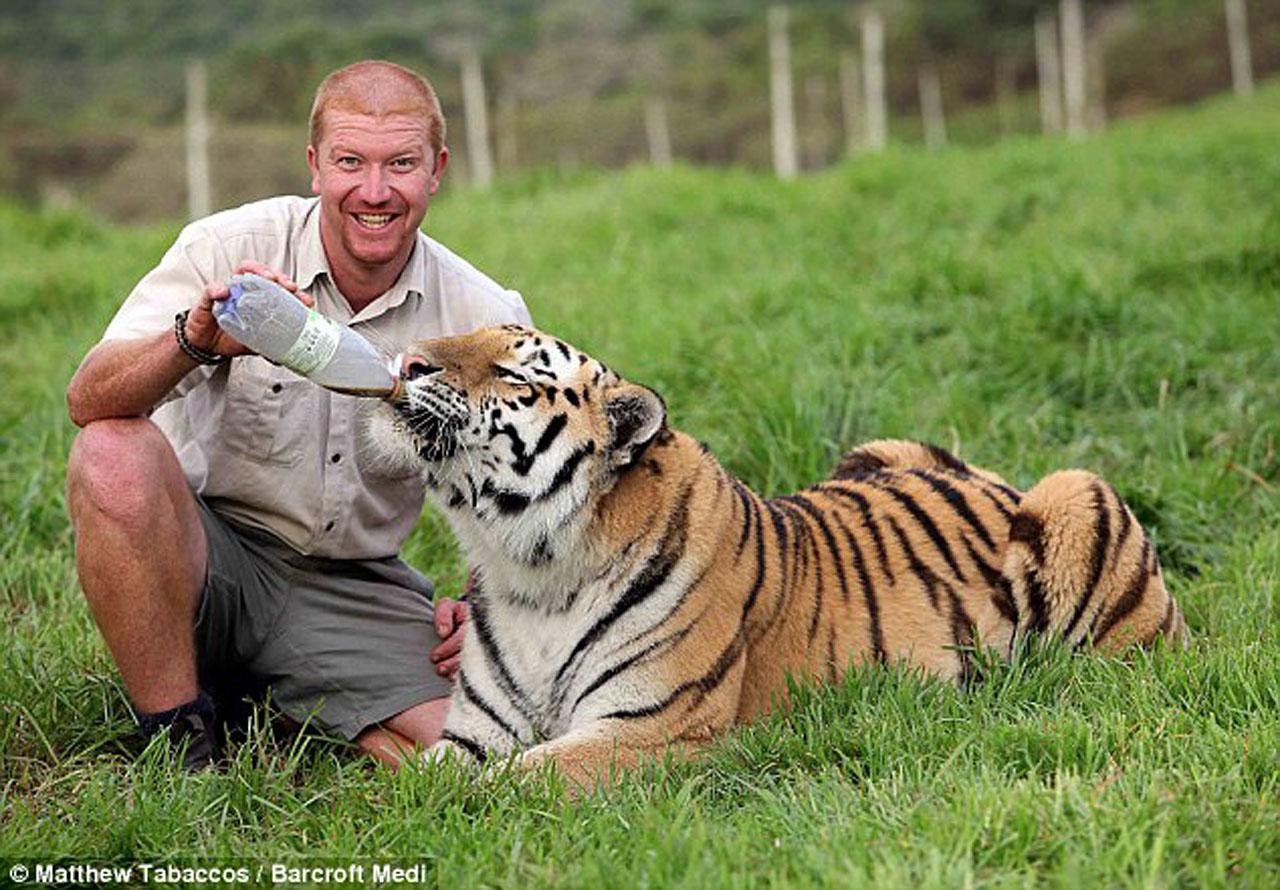Амурский тигр Шошо и его друг, смотритель парка для тигров в Южной Африке возле города Порт-Элизабет, Эшли Гомберт(1280_d)