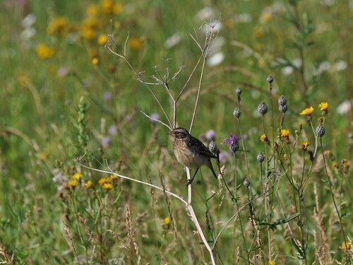 Луговой чекан (Saxicola rubetra) Автор фото: Владимир Брюхов