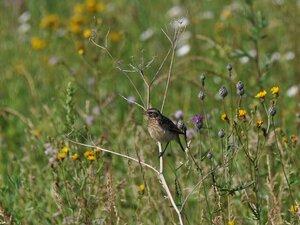Луговой чекан (Saxicola rubetra)