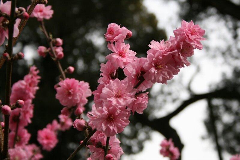 Гугун, сакура в Императорском саду