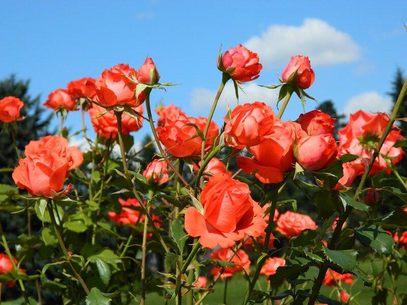 розы.  Последний день лета. цветы. природа. небо. лето.  До свиданья, лето! солнечный день. облака.