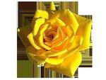 rose16.png