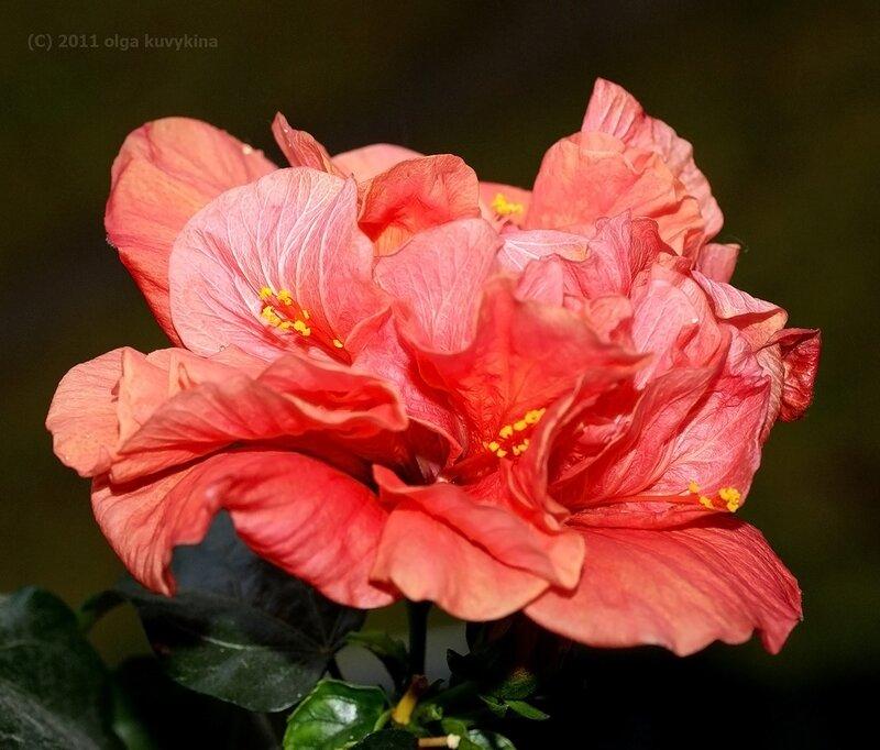 Гибискус махровый (Hibiscus rosa-sinensis)