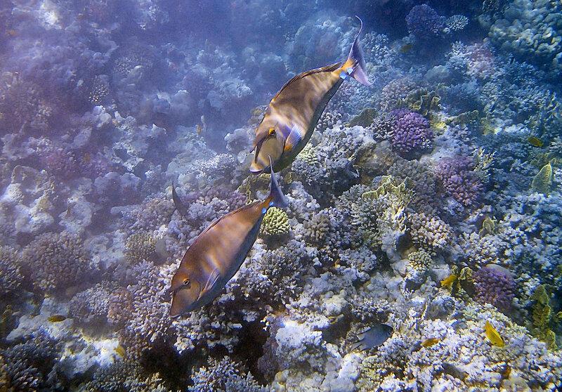 Синешипые рыбы-носороги.