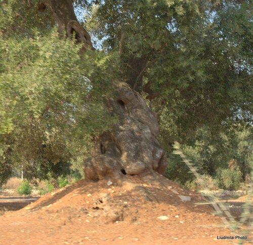 Древние Оливы