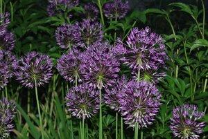 Флоксы, лилии и другие растюхи от amalex 0_6942a_81555d18_M