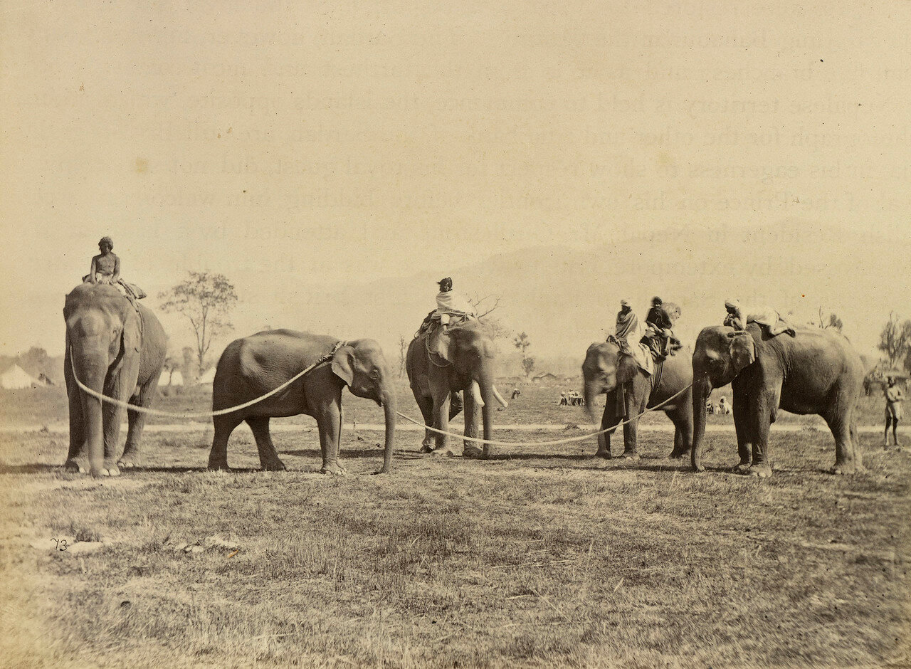 110. Пойманный слон и его укротители