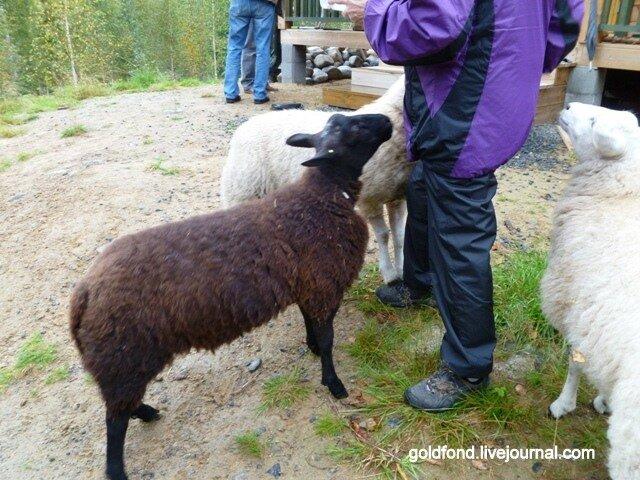 Ну, очень коммуникабельные овечки