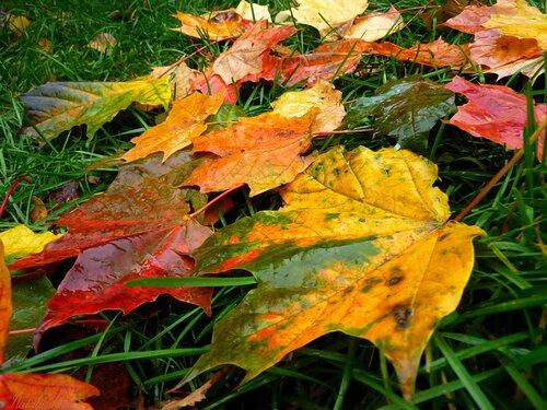 осень, листья, зеленая трава  яркие осенние листья