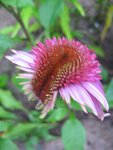 Echinacea Secret Affair (3).JPG