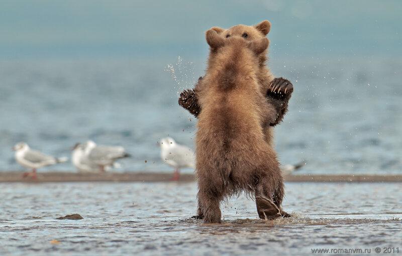 история образования картинка танцующие медведи нашей игре