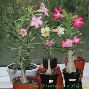 Выращивание плюмерия из семян 89